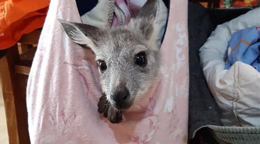 kangaroo in a pouch